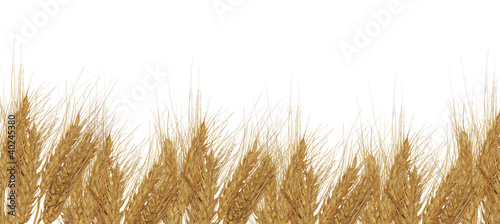 wheat ears group on white