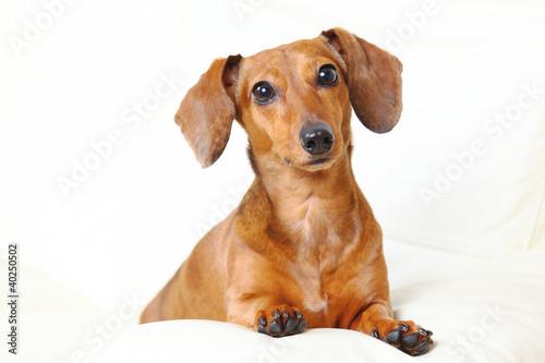 Stampa su Tela dachshund dog at home on sofa