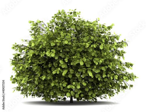 Fotografija common hazel bush isolated on white background