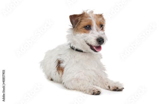 Wallpaper Mural Jack Russel Terrier