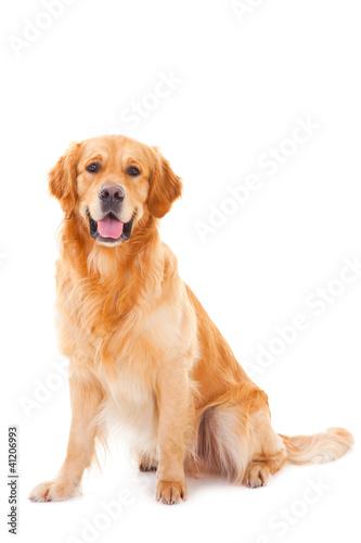 golden retriever dog sitting on isolated  white Fototapeta