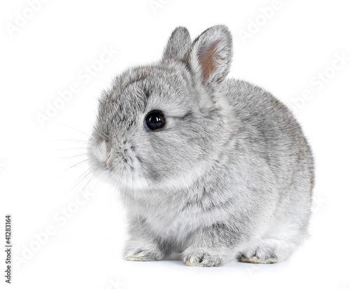 Photo Gray rabbit bunny baby isolated on white background