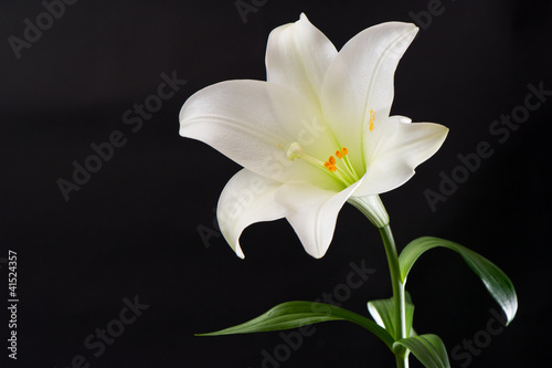 white lily flower on black