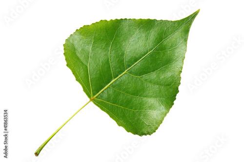 Fototapeta Green leaf poplar isolated on white background