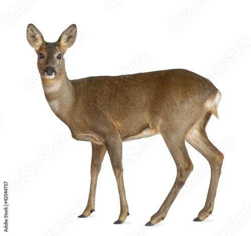 Canvas Print European Roe Deer, Capreolus capreolus, 3 years old