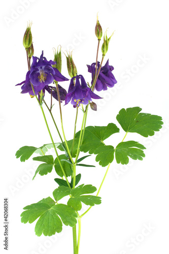 Fotografía Blooming aquilegia isolated on white background