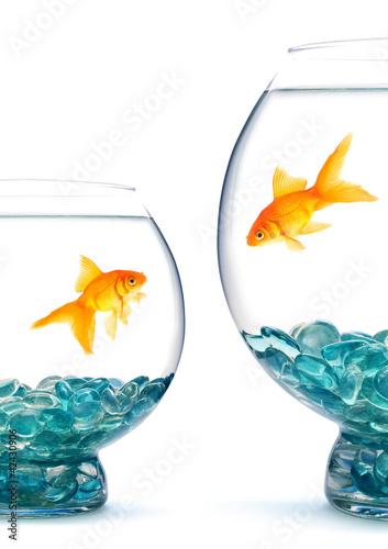 Tableau sur Toile Goldfishes in aquarium