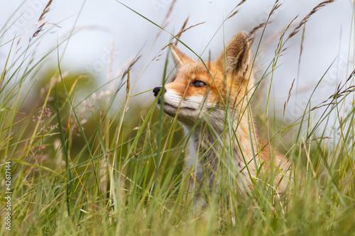 Obraz na plátně portrait of a red fox cub