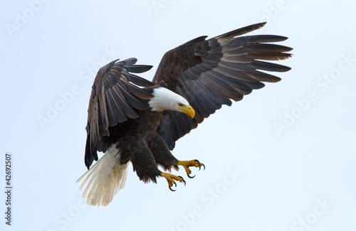 Canvas Bald eagle