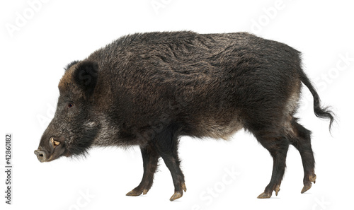 Leinwand Poster Wild boar, also wild pig, Sus scrofa, 15 years old
