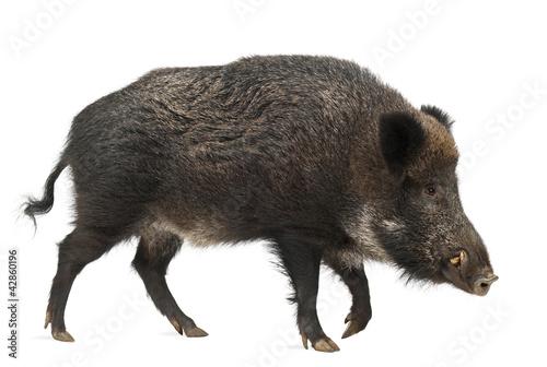 Wild boar, also wild pig, Sus scrofa, 15 years old Fototapeta