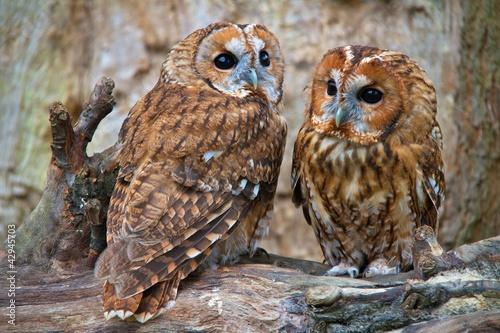 Fotografie, Obraz Tawny Owls