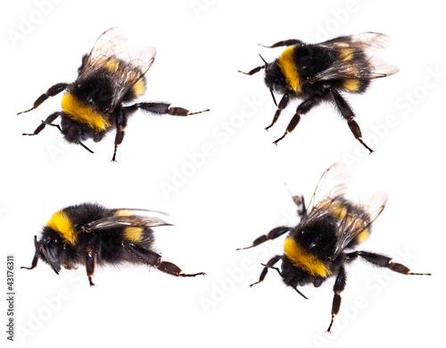 Foto Bumblebee macro view isolated