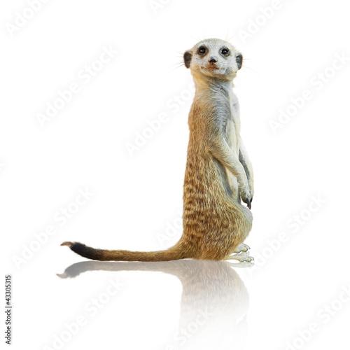 Fototapeta Portrait Of A Meerkat