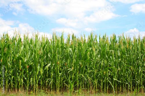 Corn green field Poster Mural XXL