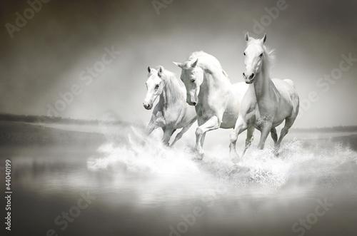 Fototapeta Herd of white horses running through water