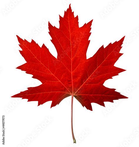 Obraz na plátně Red Maple Leaf