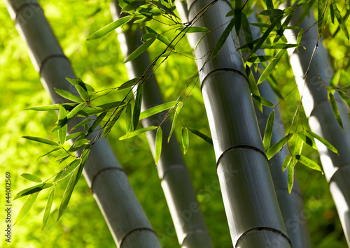 Bamboo forest background. Shallow DOF #44082569