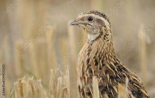 Canvas Print quail