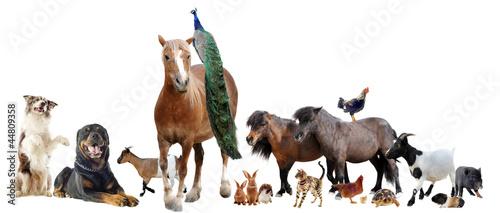 Fototapeta premium farm animals