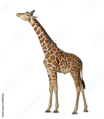 Fototapeta premium Żyrafa somalijska, powszechnie znana jako żyrafa siatkowa
