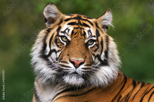 Canvas Print Portrait of a bengal tiger