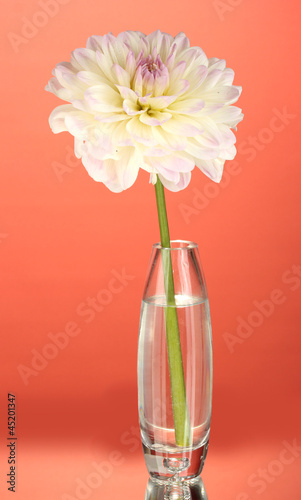 Beautiful white dahlia in glass vase on red background close-up
