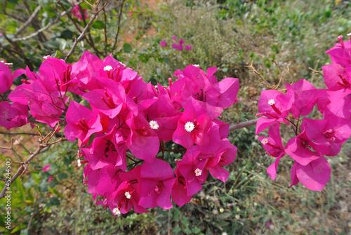pink bougainvillaea Fototapet