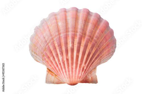 Murais de parede scallops shell