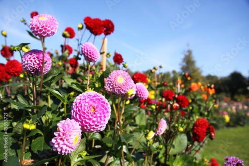 Tableau sur Toile bunte Dahlienblüte