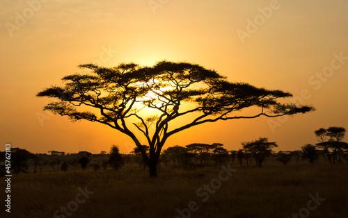 Fototapeta premium Wschodzące Słońce świecą przez Drzewo Akacji w Serengeti