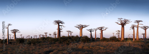Canvas Print Avenue of the Baobabs