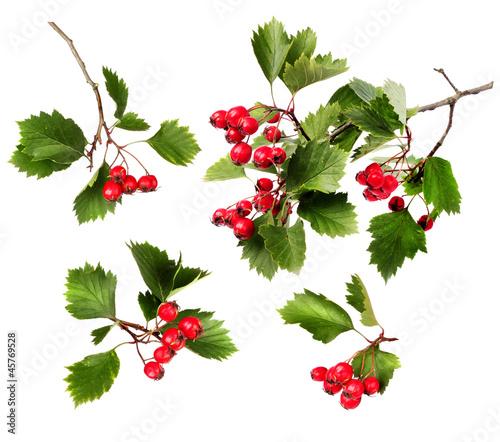 Fotografie, Obraz Green hawthorn branches red berries