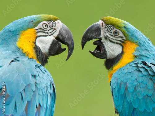 Close-up of two macaw parrots #46082379