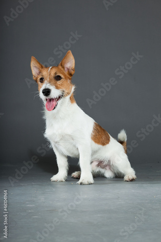 Young cute jack russell dog isolated on grey. Fototapeta