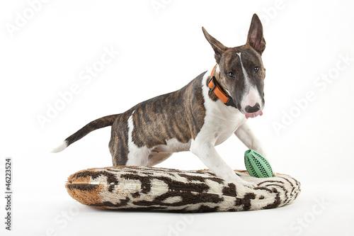 Fotografering Miniature Bull Terrier