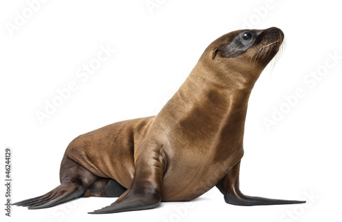 Young California Sea Lion, Zalophus californianus