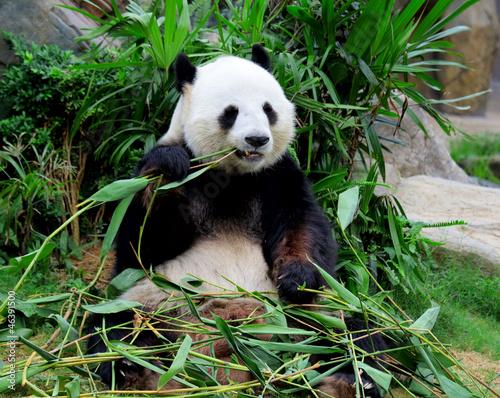 Fototapeta Giant panda eating bamboo