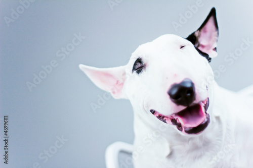 Canvas Print smile bull terrier