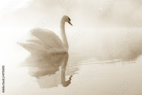 Mute swan Cygnus olor gliding across a mist covered lake at dawn