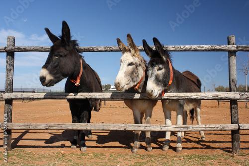 three donkeys peeking through the fence Fototapet
