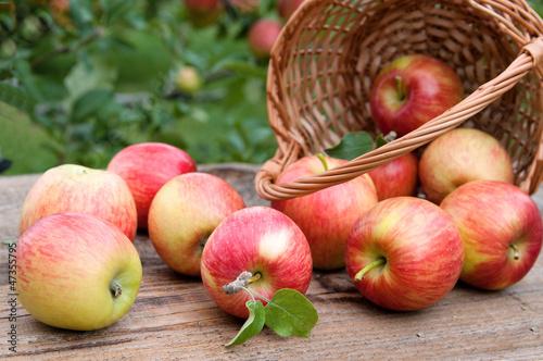 Basket full of ripe apples against apple orchard