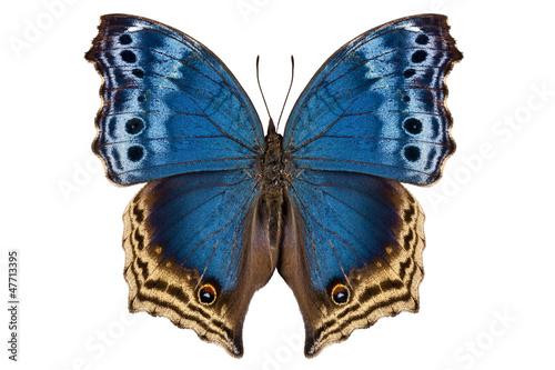 Fototapeta Butterfly species Salamis temora Mother-of-Pearls butterfly