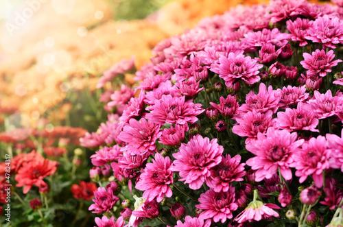 Billede på lærred Orange and purple chrysanthemum flowers background