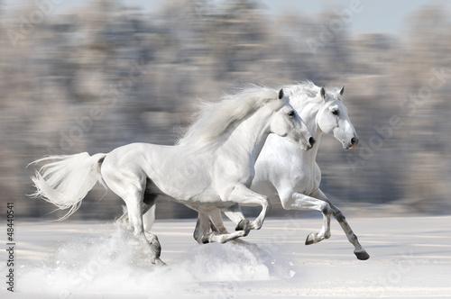 Two white horses in winter run gallop Fototapeta