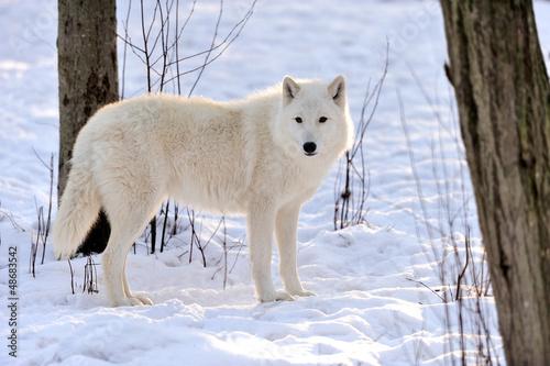 Wolf #48683542
