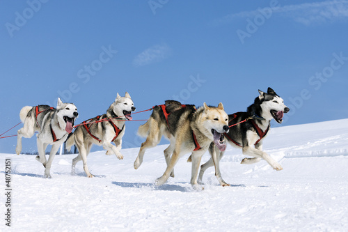 Canvas Print sportive dogs in the snow
