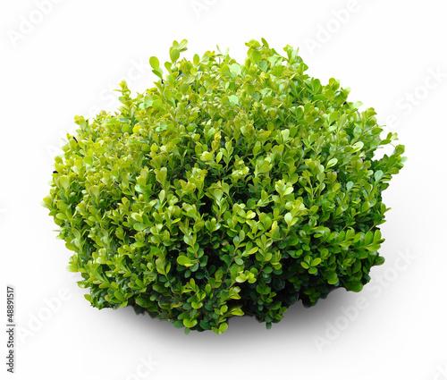 Fotografia Fresh shrub plant on white background
