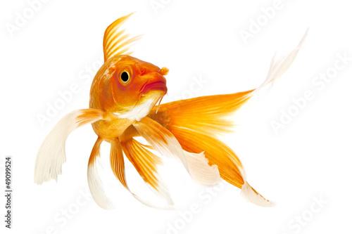 Fotografie, Obraz Golden Koi Fish