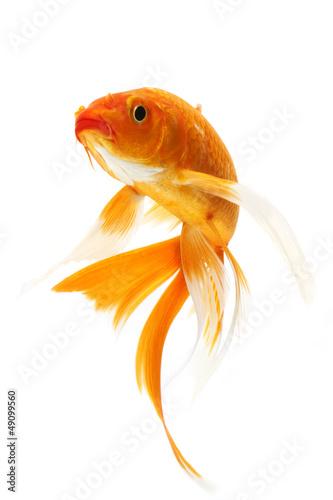 Fototapeta Golden Koi Fish